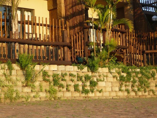 A peacock at Bundu Lodge