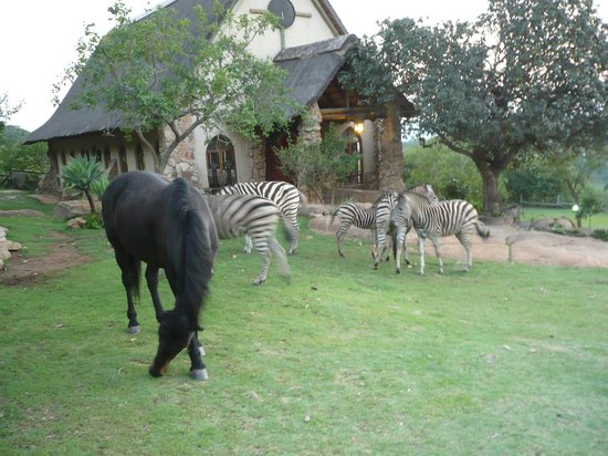 Bundu Lodge: Zebras (& horse) walking freely in the grounds at Bundy Lodge with Chapel in background