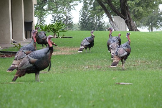 Paniolo Greens Resort: Huge wild turkeys on the grounds