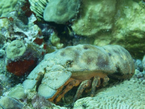 Sandals Halcyon Beach Resort: Slipper lobster on dive