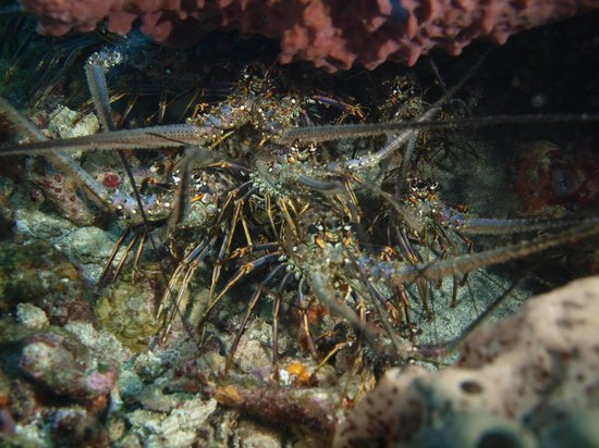 Sandals Halcyon Beach Resort: Lobster den on dive