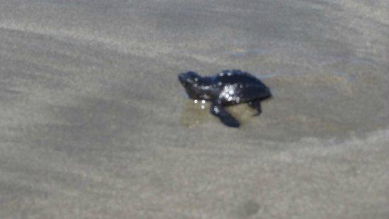 Cristal Azul: Tortuga en Playa San Miguel