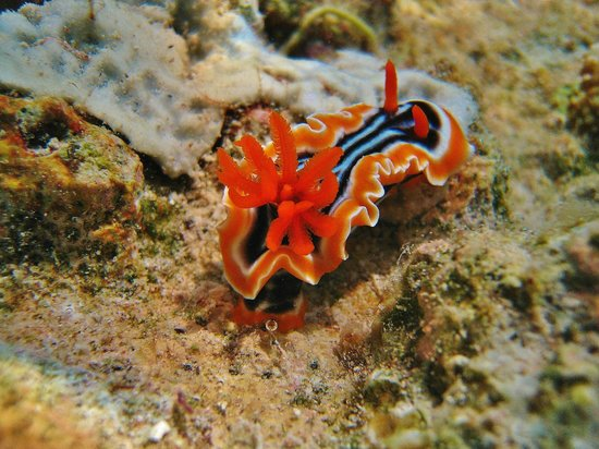 Wakatobi Dive Resort: A sea slug on resort wall snorkeling