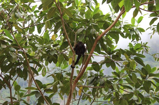 لا تييرا ديفينا: Howler Monkey on Property