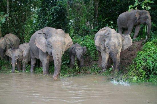 Osman's Homestay: Bornean Elephants