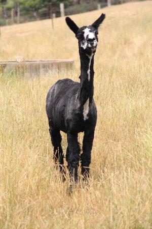 Duckmaloi Farm: Alpacas