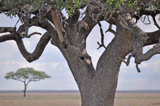 Аруша, Танзания: leopard in tree