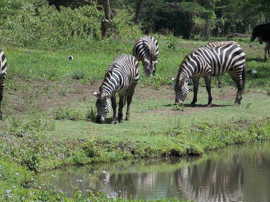 Mount Meru Game Lodge & Sanctuary: zebras in the sanctuary