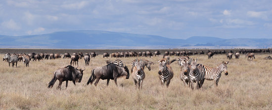 Аруша, Танзания: wildebeest and zebras
