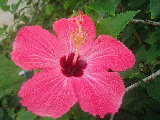 Beautiful Hibiscus Flowers Everywhere Picture Of Punta Cana
