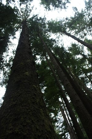 Looking up at the trees at Mora Campground