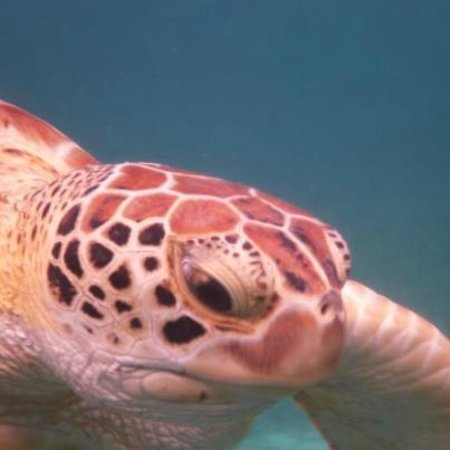 San Pedro, Belize: Sea turtle at hol chan marine