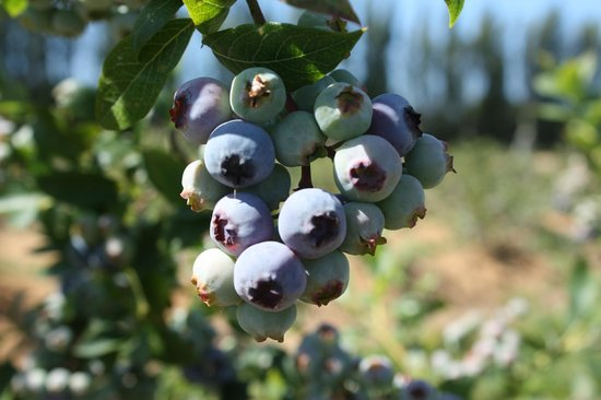 Graysmarsh Berry Farm blueberries
