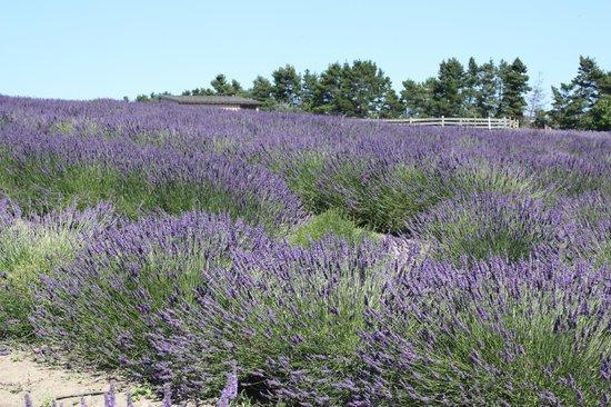 Graysmarsh Berry Farm lavender