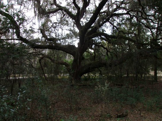 Paynes Prairie Preserve State Park: Great stately oaks along the Lake trail