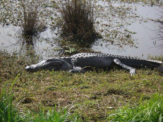 Paynes Prairie Preserve State Park: Mr. Al Li Gator