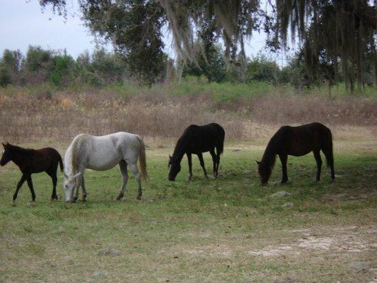 Paynes Prairie Preserve State Park: wild horses