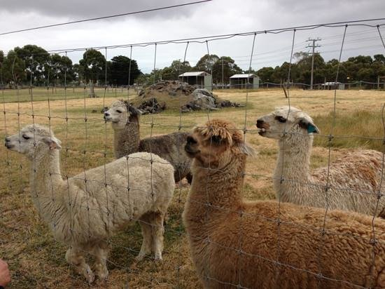 Myuna Farm: alpacas