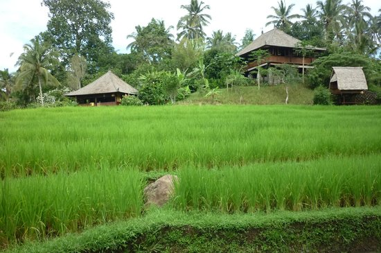 Bali Eco Stay Bungalows : rice paddies on your doorstep