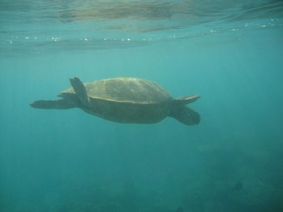 Nohonani Condos: Gentle green sea turtles populate the reef just offshore.