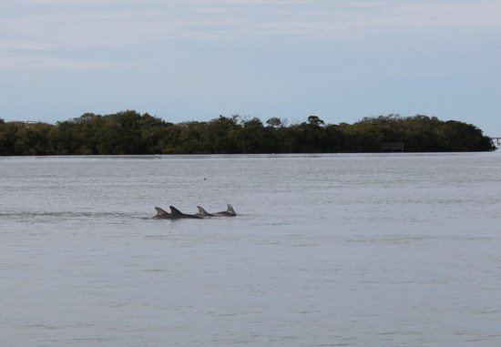 Tortuga Beach Resort: Dolphins off the dock, bayside