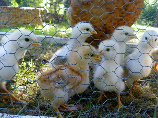 Horse-Haven Farmstay : baby chooks