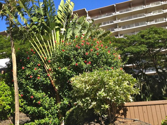 Kaanapali Beach Hotel: The lush greenery next to the buildings