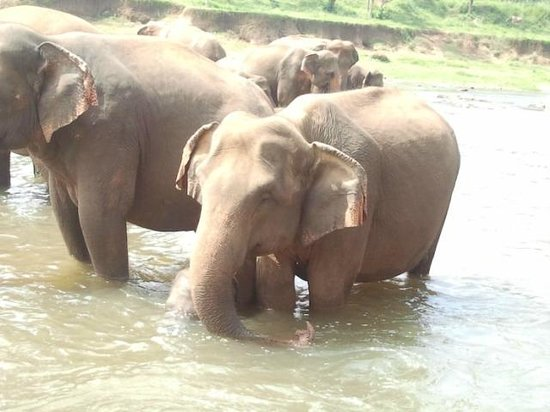 Pinnawala Elephant Orphanage: Elephant taking bath 1