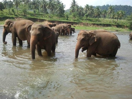 Pinnawala Elephant Orphanage: Elephant taking bath 2