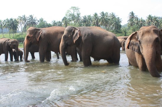 Pinnawala Elephant Orphanage: Elephant taking bath 3