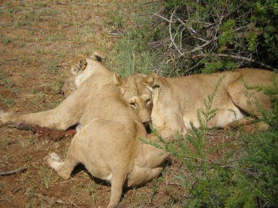 In2kenya: leoni con la preda