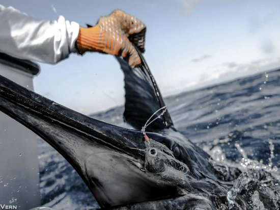 Las Islas Lodge: Sailfish on fly