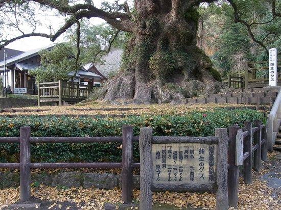 Kamo Hachiman Shrine: 大クス
