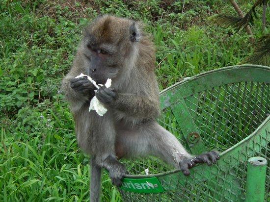 Maritim Resort & Spa Mauritius: Monkey at Hindu temple