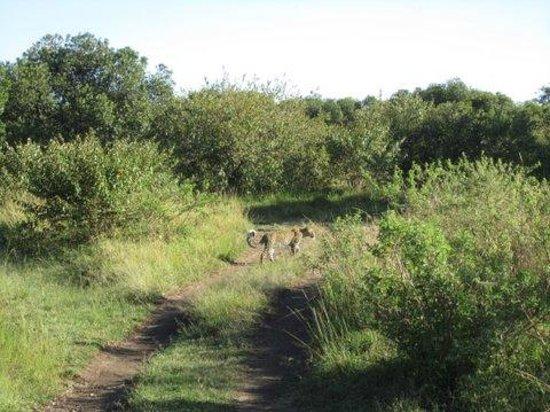 Mara Explorer Camp: On a gamedrive - a leopard