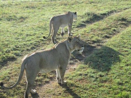 Mara Explorer Camp: On a gamedrive - lions