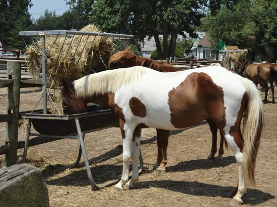 Chincoteague Pony Centre : Horses eating their hay!