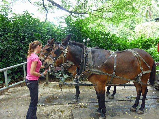 Waipi'o Valley Wagon Tours: Calm mules