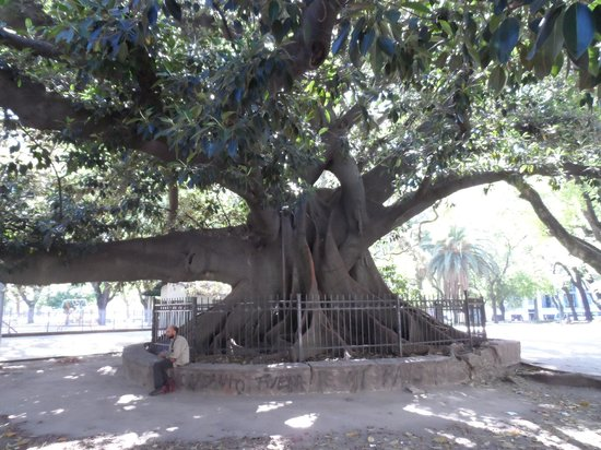 BuenosTours: Rubber Tree that is over 200 years old