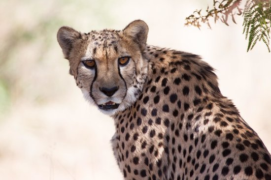 "Amani Lodge : One of the ""house"" cheetahs"