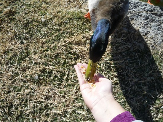Longstreet Inn and Casino: Feeding the ducks