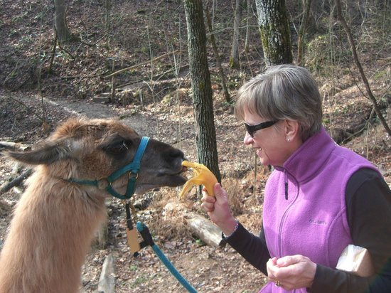Smoky Mountain Llama Treks - Day Tours : Cinnamon LOVES whole bananas - seriously amusing!