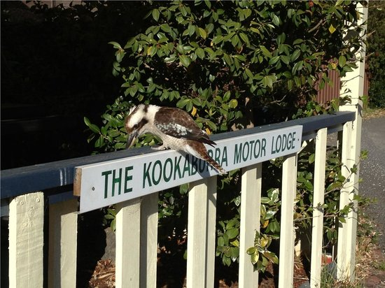 Kookaburra Motor Lodge: Yes he does exist. Right outside of our room.