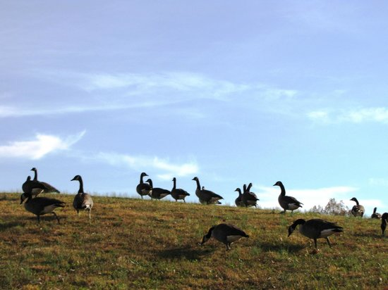 Shenandoah Crossing: Geese on the Horizon