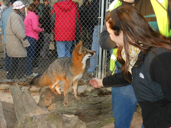 Seacrest Wolf Preserve: Grey Fox