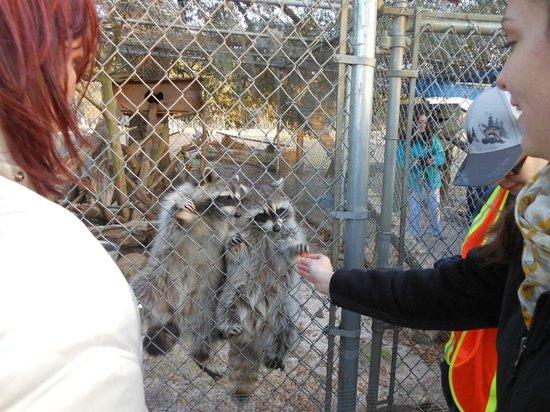 Seacrest Wolf Preserve: Feeding the Raccoons