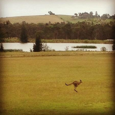 Talga Estate: nearby kangaroo