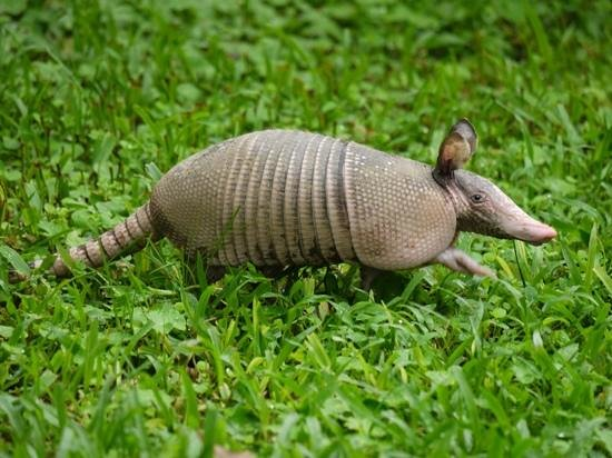Hotel Lavas del Arenal: An armadillo decided to go for a stroll across the garden.