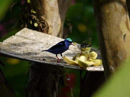 Hotel Lavas del Arenal: Birds eating bananas by the breakfast lounge.