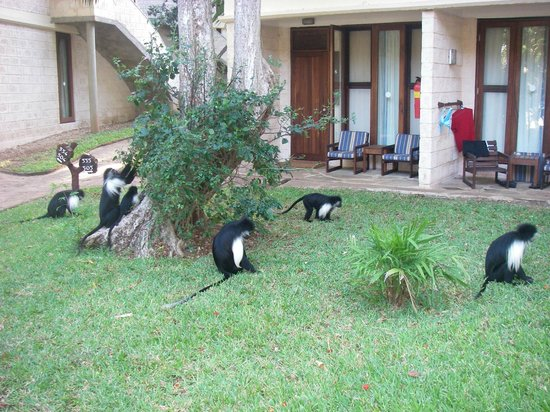 The Baobab - Baobab Beach Resort & Spa: Colobos Monkeys, Babobab Hotel